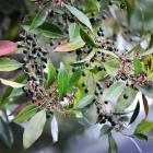 E. reticulatus, commonly known as blueberry ash or blue olive berry, can grow to 15m high and...