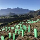 Mountain beech plantings on Mt Dewar Station, above the Coronet Peak road. PHOTO: ADAM SMITH