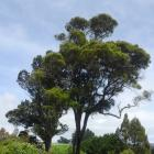 One of several matai growing beside the Northern Motorway near the Waitati turn-off. The leaves...