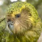 Sirocco the kakapo shot to stardom after attempting to mate with zoologist Mark Carwardine on the...