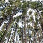 Douglas Fir trees. Photo by Linda Robertson.