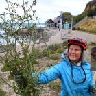 Dunedin resident Judy Russell with big dandelions dug from the St Clair pool garden. PHOTO:...