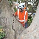 Consulting arborist Mark Roberts inspects a large crack in the rata in the Knox Church grounds in...