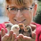 Stefanie Kalmakoff, of Portobello, with a handful of her one-day-old araucana chicks which she...
