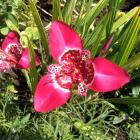 Often referred to as day lily or jockey's cap, Tigridia pavonia, is actually a member of the iris...