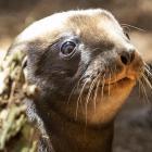 A sea lion pup born during the current New Zealand breeding season, at a beach near Dunedin....