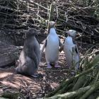 Yellow-eyed penguin chicks are falling ill with an unexplained pneumonia-like sickness. PHOTO:...