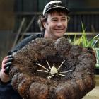 Dunedin Botanic Garden plant collection curator Stephen Bishop holds the corpse plant which is...