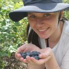 Annabel Murphy, of Invercargill, is enjoying her first season of blueberry picking while she is...
