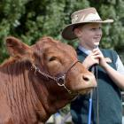 Southland's Jake Eden, of Balfour, steadies a South Devon named Nora at the Taieri A&P...