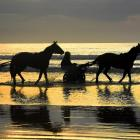 Horses and drivers get wet at Waikouaiti Beach yesterday morning. PHOTO: STEPHEN JAQUIERY