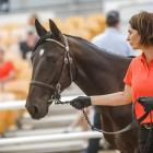 Katrina Price leads yesterday's sale-topping Bettor's Delight colt at the national yearling sales...