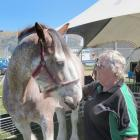 Lyn Chittock, of Roxburgh, pats her Clydesdale Buster at the Mt Benger A&P Show's pet tent on...
