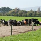 Lincoln University Dairy Farm cow have been found to have M. bovis after a positive milk...