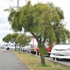 Three small kowhai trees are growing slowly but steadily in a very exposed location by the busy...