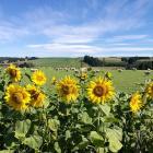 Sunflowers adorn roadside paddocks at Paul and Emma Carrol's Taiko Rd property. Photo: Alexia...