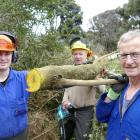 Showing the distinctive orange-coloured wood of invasive pest Darwin's barberry being cleared...