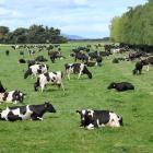 Cows graze on the Taieri Plain, south of Dunedin, this week. PHOTO: STEPHEN JAQUIERY