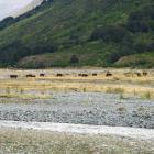 Cattle grazing the Von river flats