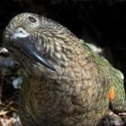 Kea are believed to be the culprits in overturning traps meant to protect them. PHOTO: STEPHEN...