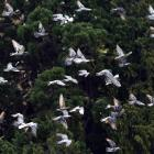 Pigeons in flight at the Dunedin Botanic Garden. PHOTO: PETER MCINTOSH