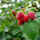 Autumn is the best time for planting raspberries. PHOTO: GETTY IMAGES