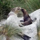 A sea lion and her new pup made St Kilda Beach their home yesterday, prompting a warning to dog...