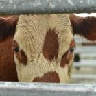 Beef and veal exports rise in volume and value. Photo by Stephen Jaquiery.