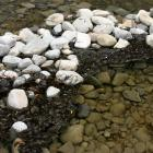 Toxic algae can be recognised at rivers and streams as a green/brown slime on rocks, or dark...