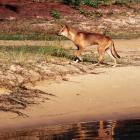 Fraser Island is home to about 200 dingoes. File photo: Getty Images