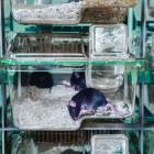 Mice bred for academic research. PHOTO: TECHNIPLAST