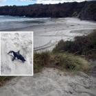 A dead little penguin at Tomahawk Beach on Thursday.PHOTOS: SUPPLIED