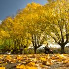 A scooter is ridden through dry autumn leaves at the Gardens corner, in Dunedin yesterday. While...