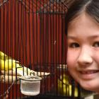 Mya Arthur (8), of Mosgiel, admires one of the birds on display at the 139th annual Dunedin Bird...