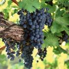 Ripe cabernet sauvignon grapes hanging on the vine. PHOTO: GETTY IMAGES