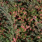 Cotoneaster integrifolius. PHOTO: GREGOR RICHARDSON