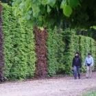 Hedges need not be of a single variety. In this tall example, English and copper beeches provide...