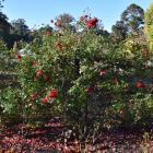 Rosa 'Red Sox' at Dunedin Botanic Garden. PHOTO: GREGOR RICHARDSON