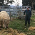 Alistair Holland checks up on a Charolais bull ahead of the Hemingford Charolais on-farm bull...
