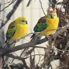 Red-rumped parrots can live from 15 to 32 years. PHOTO: LINDA ROBERTSON