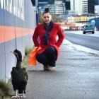 Rebecca Stewart watches an injured Otago shag beside Portsmouth Dr after interrupting morning...