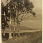 Sunlit Gums, 1918-1920.  George Chance photograph. P1991-023/01-0187, HOCKEN COLLECTIONS UARE...
