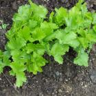 Parsnips need a good long growing time. PHOTO: GILLIAN VINE