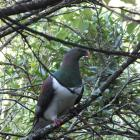 Kereru have adapted their diet to include introduced trees.  PHOTOS: GILLIAN VINE