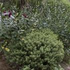 Good pruning of hebes (Veronica) can keep them in shape, otherwise they need to be removed before...