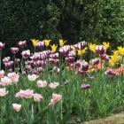 Popular spring bulbs tend to sell out quickly, so buy them as soon as they appear in garden...