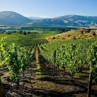 Recent hot conditions have resulted in a huge amount of early growth for Central Otago vineyards.