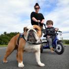Tessa Day and  Jaxon (20 months) walk their English Bulldog, Archie, along John Wilson Ocean Dr...