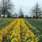 Clandon is one of New Zealand's biggest daffodil growers. Photo: RNZ