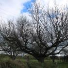 A memorial oak for Private George Addison, near McEwan Rd, near Oamaru, has to be cut down and...